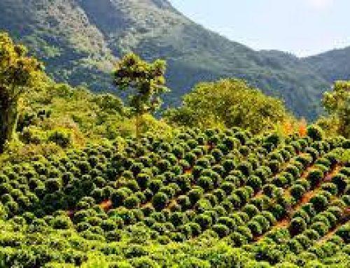 Agro-homeopatía en los cafetales de Costa Rica.